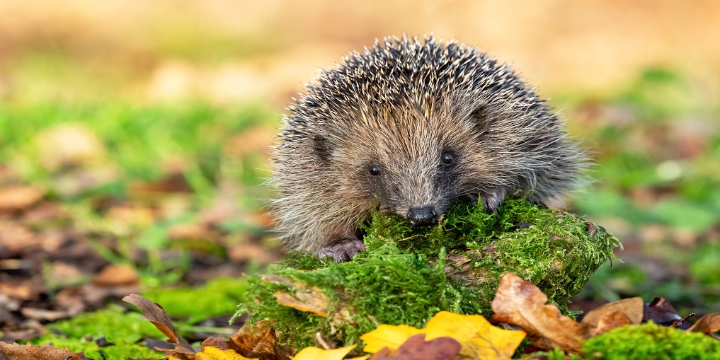 Hedgehog, wild native, European hedgehog on a  green moss log, facing forward.  Close up with blurred background