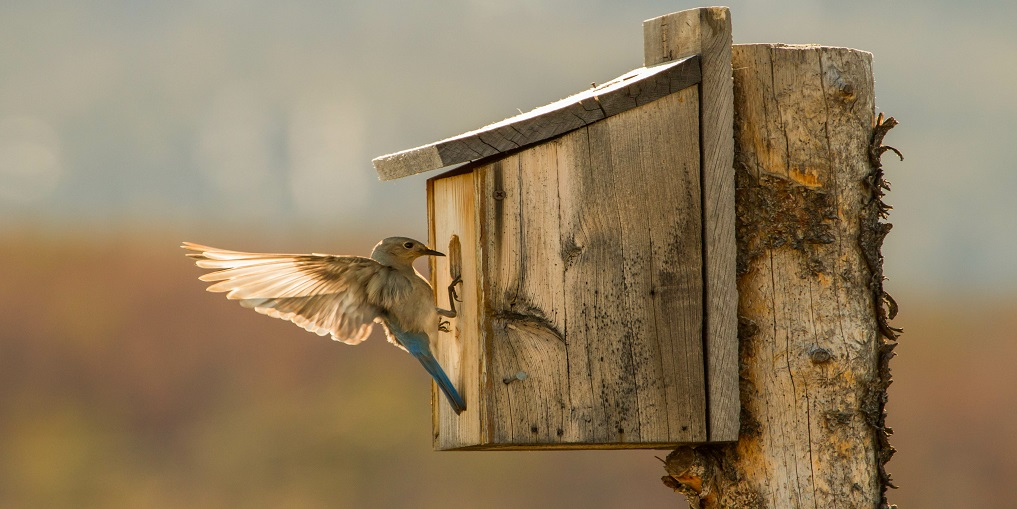 A Mountain Bluebird Gets the Nest Ready for the Young Ones